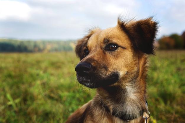 perro kromfohrlander en campo