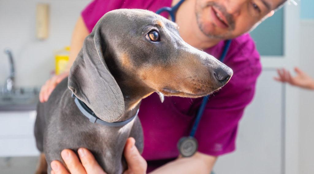 veterinari amb gos